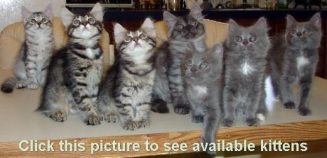 Click here to view kittens for sale.